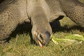 Giant Aldabra Tortoise feeding