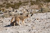 Coyote (canis latrans) in Death Valley