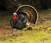 Male Turkey (gobbler) flaring its tail feathers in a typical display called strutting with wing tips
