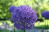 Giant Allium bloom