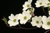 foto of white flower  - White dogwood blossoms - JPG