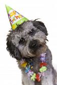 image of parti poodle  - Cute dog with a birthday hat and lei - JPG