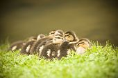 Mass of baby Mallards by the creek