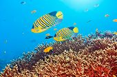 Underwater landscape with couple of  Royal angelfishes