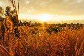 Desho Grass Pennisetum Pedicellatum At Sunset Time. Beautiful Grass Flower. Background Grass Flower  poster