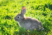 Funny Grey Rabbit Sitting In A Sunny Grass. Beautiful Young Small Rabbit On The Green Grass In Summe poster