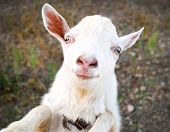 funny rural little goat kid portrait