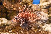 tropical fish red Lionfish - Pterois Volitans
