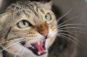 Closeup of angry hissing cat showing his teeth