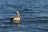 A pelican bird wading in the ocean looking for food