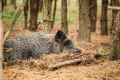 Belarus. Wild Boar Or Sus Scrofa, Also Known As The Wild Swine, Eurasian Wild Pig Resting Sleeping I poster
