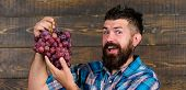 Farmer Proud Of Harvest Grapes. Man Bearded Happy Smile Holds Grapes Wooden Background. Organic Harv poster