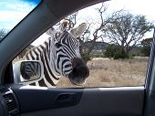 Wildlife Peeks In A Car Window
