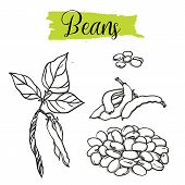 Beautiful Vector Hand Drawn Beans Organic, Haricot. organic Food, Vector Doodle Illustrations Collec poster