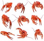 stock photo of crawdads  - collection of red boiled crawfish on white background - JPG