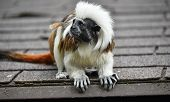 Close Up Profile Portrait Of One Small Cotton-top Tamarin (saguinus Oedipus) Monkey Sitting On The R poster