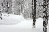 Pale winter forest with trees covered by snow
