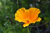 Pretty Blooming Orange California Poppy Flower Blossom. poster