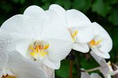 White Orchid With Drops poster