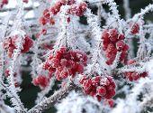 Berries in hoarfrost