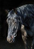 Black Purebred Horse Portrait