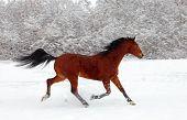 Skipping sorrel horse