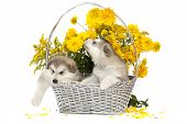 image of laughable  - Two malamute puppies in a flower basket over white - JPG