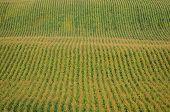 Rows Of Corn On A Farm
