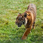 Sumatran Tiger Pacing Through Grass
