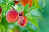 Delicious peaches growing on a tree