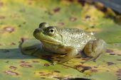 Bullfrog Basking on a Lily Pad