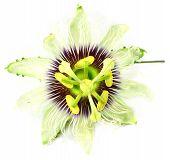 Jhumko Lata or Passion flower
