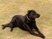 Australian working dog black kelpie pure breed