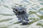 stock photo of alligators  - American Alligator Floating with Head Exposed out of Water - JPG