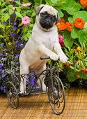 Pug Puppy, 8 Weeks Old, on Tricycle