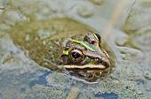 Frog Bullfrog Puddle Green Algae Closeup Copy Space