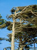 foto of windswept  - Windswept Trees on a Clear Sunny Day - JPG