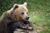 Close up of Brown Bear