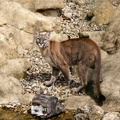 Puma Camouflaged On Rocks Looking Up