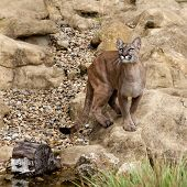 Puma Standing On Rock Gazing Upwards
