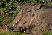 Warthogs sleeping