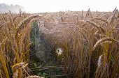 Autumn Crop Fields With Morning Dewy Spider-web