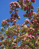 Cedar Waxwing (bombycilla Cedorum) In Blossoming Tree