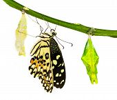 New Born Lime Butterfly