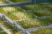 image of bean sprouts  - bean sprouts vegetable concept of Agriculture close up - JPG