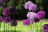 Alium Onion Flower