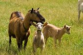 stock photo of feedlot  - young goats standing with their mother on a green meadow - JPG