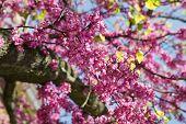 Pink Flowers Judas Tree Or Cercis Siliquastrum In Spring