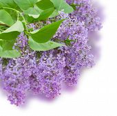 picture of lilac bush  - Bush with with lilac flowers  isolated on white background - JPG
