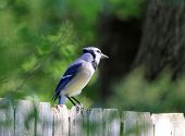 stock photo of inquisition  - Selective focus on Blue Jay (Cyanocitta cristata) perched on wooden backyard fence with head tilted showing its inquisitive nature -- with soft green background.